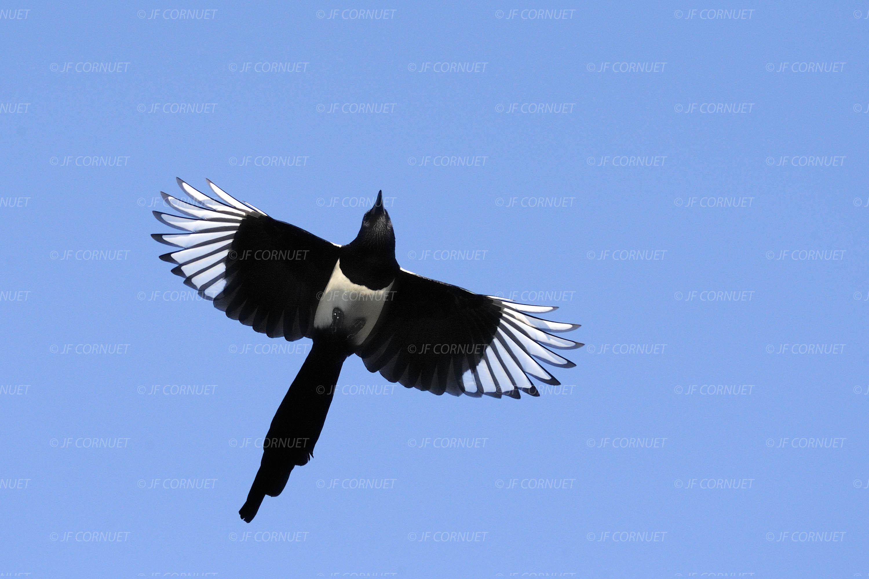 Oiseau en vol jean louis hierro pictures for Photo oiseau
