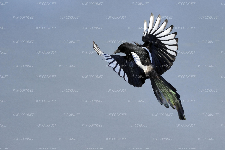 Oiseau envol galerie tatouage for Photo oiseau